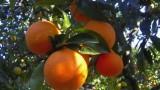 arance da raccogliere