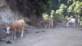 vacche sacre