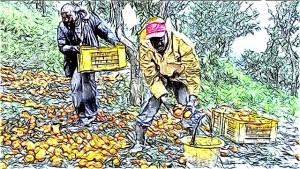 raccolta arance draft