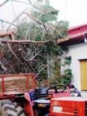 uno degli alberi abbattuti dal vento
