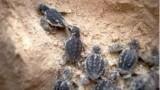 tartarughe caretta