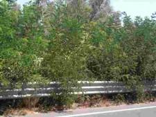l'acacia copre un segnale stradale
