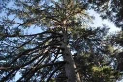 pino laricio aspromonte