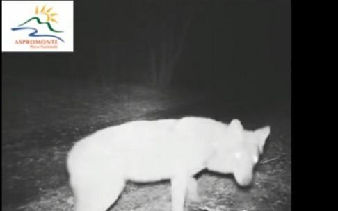 lupi in aspromonte