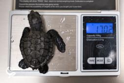 centro-recupero-tartarughe-marine-di-brancaleone_penny_001