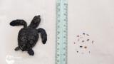 centro-recupero-tartarughe-marine-di-brancaleone_penny_036